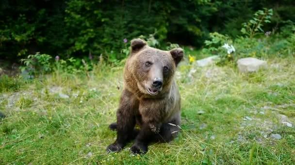 Egy barna medve belenéz a kamerába és kisétál a keretekből..