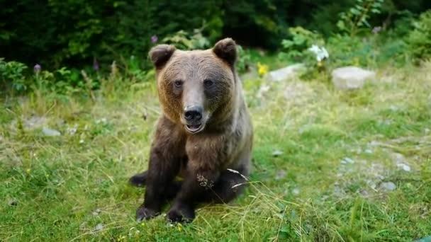 Barna medve fordul és mutatja nyelv az erdőben.