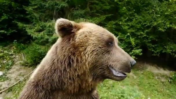 Portrait of a big brown bear in the wild.