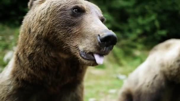 Medve mutatja nyelv a háttérben az erdő.