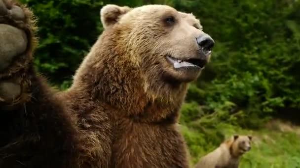 A medve a hátsó lábán áll, és integet a mellső mancsával..