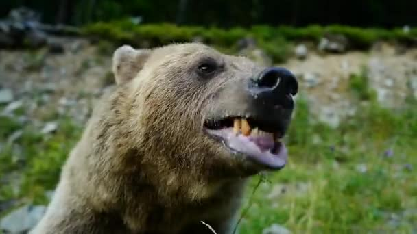 The bear warns of an attack on a person, sound