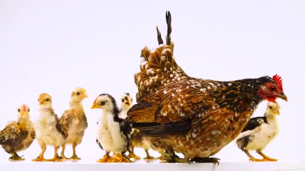 Hen and her chicks isolated on a white screen