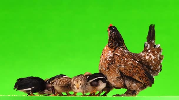 Matka kuře s malými kuřátky, které klovnou proso. Izolováno na zelené obrazovce, zvuk