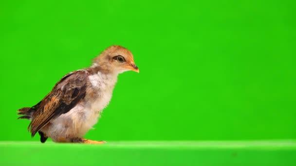 Little Cockerel on a green screen.