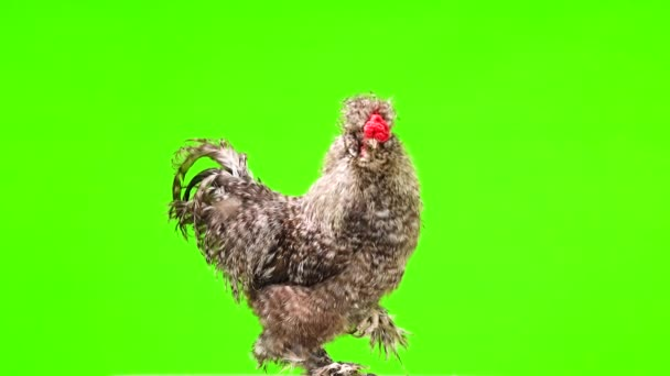 Chinese cockerel rotates on a green screen and stands on one leg.