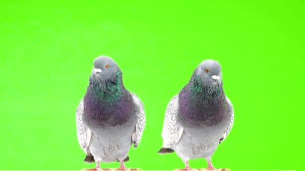 two polish lynx dove isolated on green screen