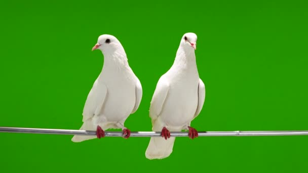 Dvě bílé holubice sedí na větvi stromu na zelené obrazovce.