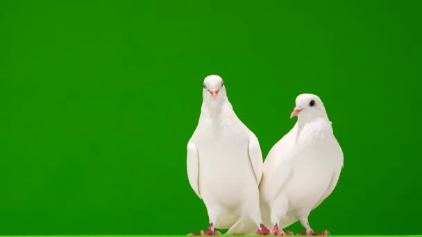 Dvě bílé holubice na zelené obrazovce.