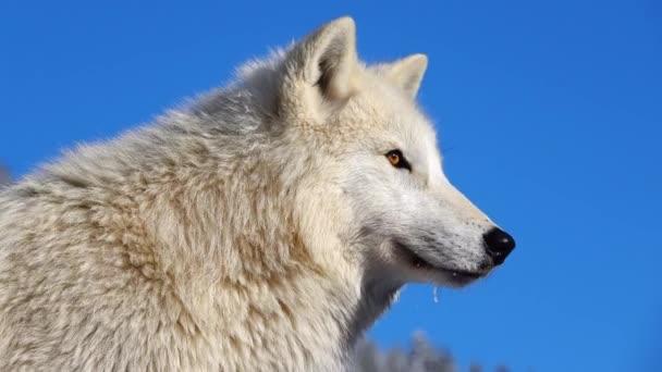 Polární vlk na modré obloze