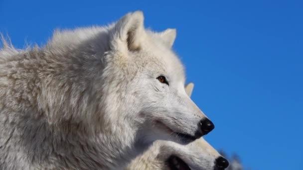 Polární vlci na pozadí nesněženého lesa.