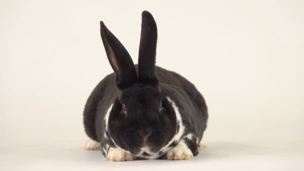 Beautiful black-and-white rabbit stirs its nose and looks at the camera.