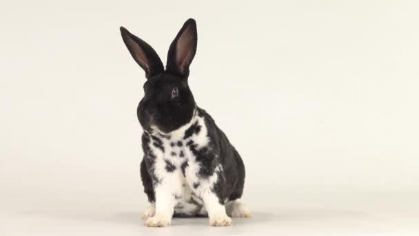 Schönes schwarz-weißes Kaninchen dreht seinen Kopf in verschiedene Richtungen.