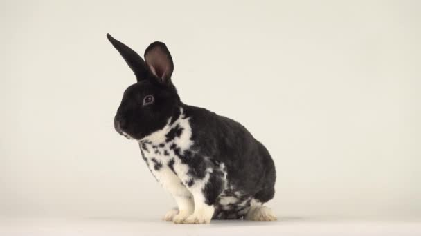 Beautiful black-white rabbit turns his head in different directions.