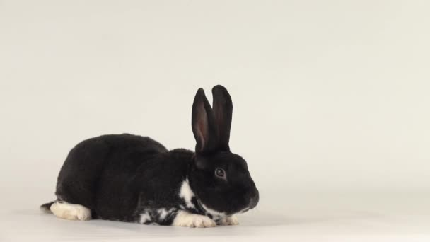 beautiful black and white rabbit lies and then stands up and looks.