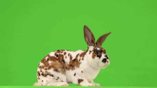 Kaninchen kaut und blickt dann auf einem grünen Bildschirm in die Kamera.