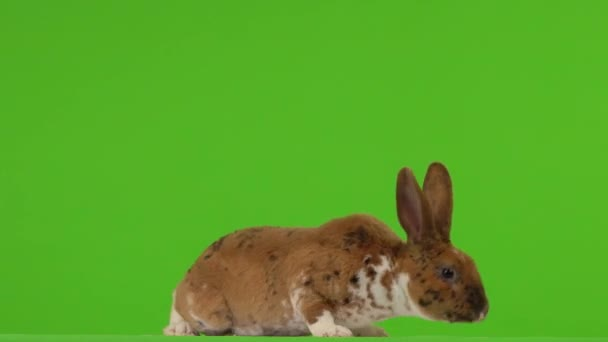 The rabbit is looking in different directions on a green screen.