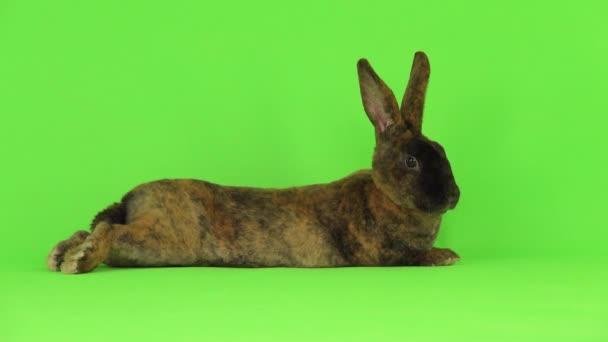 Das Kaninchen liegt auf dem Bauch. Green Screen