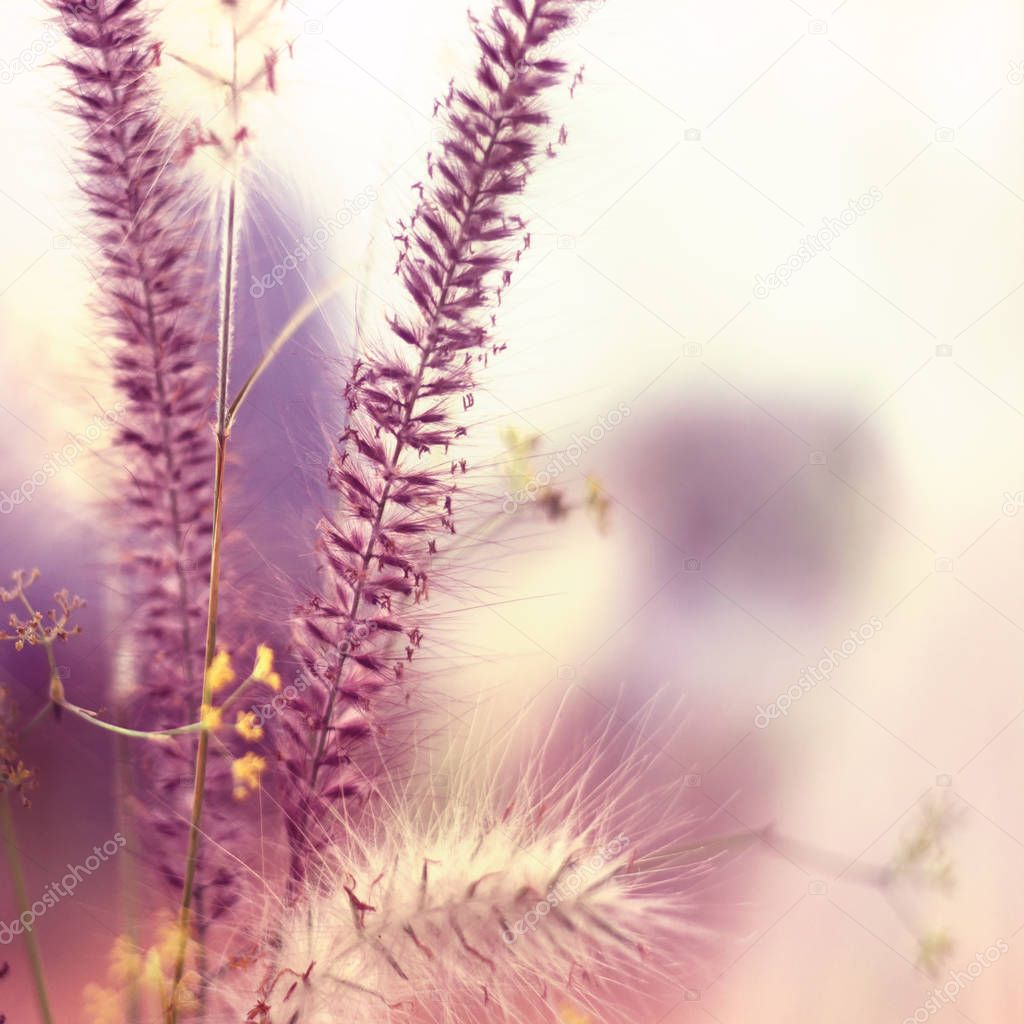 Various white and purple or pink grasses