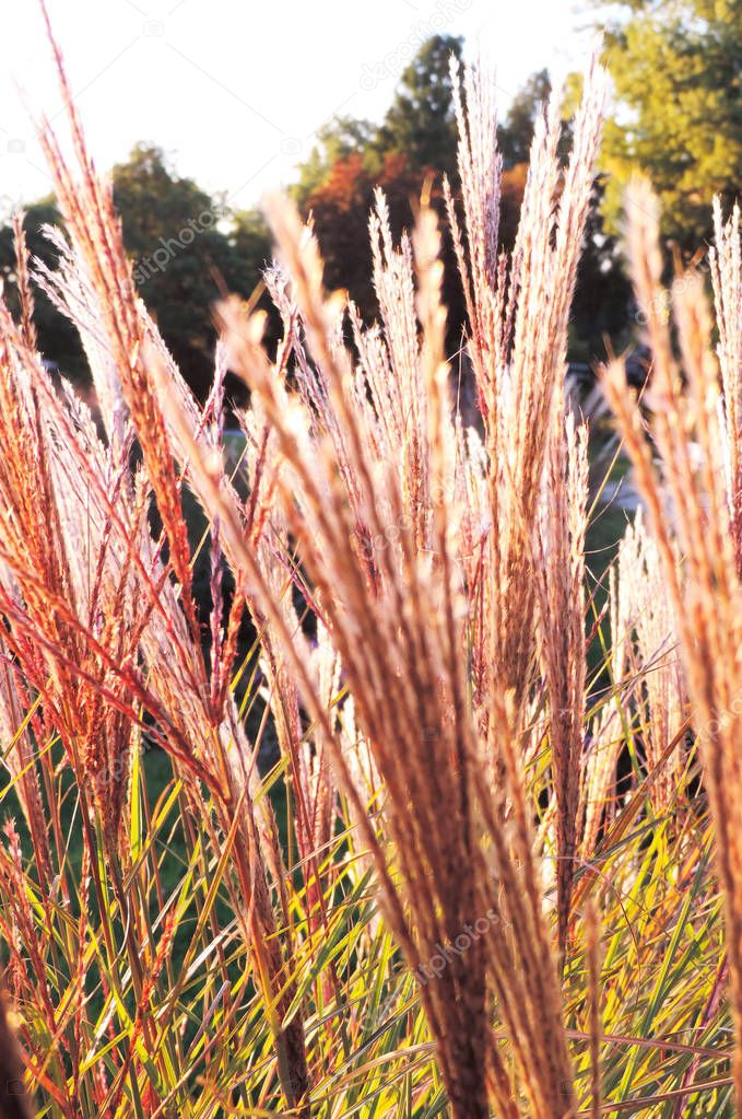 Purple or pink grasses