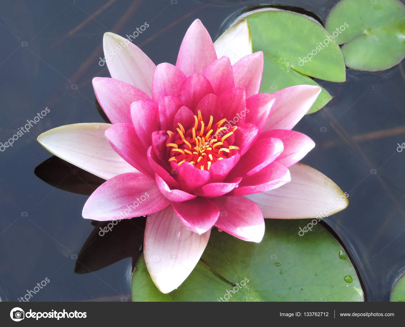 Lotus flower or water lily stock photo eivaisla 133762712 pink colored lotus flower or water lily on a pond close up shot photo by eivaisla mightylinksfo