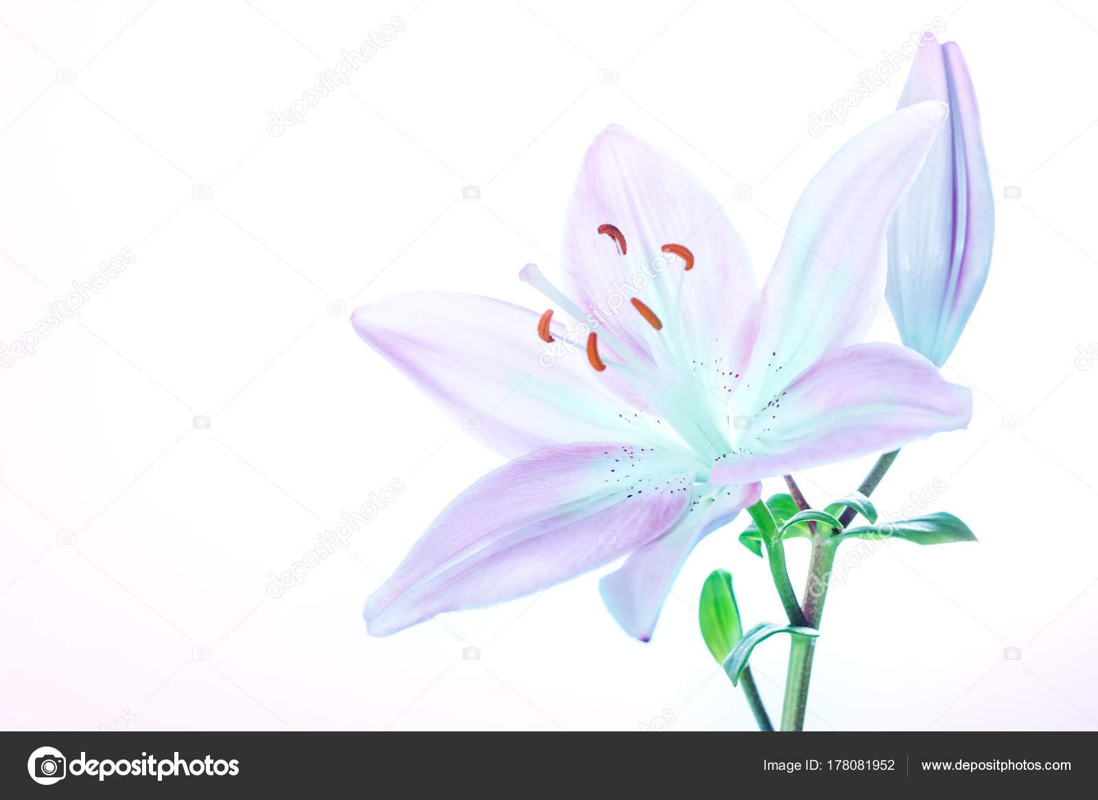 Bella giglio fiore foto stock annaom 178081952 bella giglio fiore foto stock izmirmasajfo