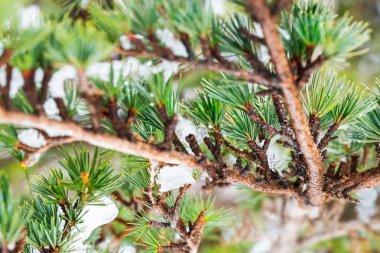 Cedar tree background