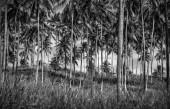 stromy plantáže palmy