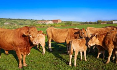 Cow cattle in Extremadura of Spain
