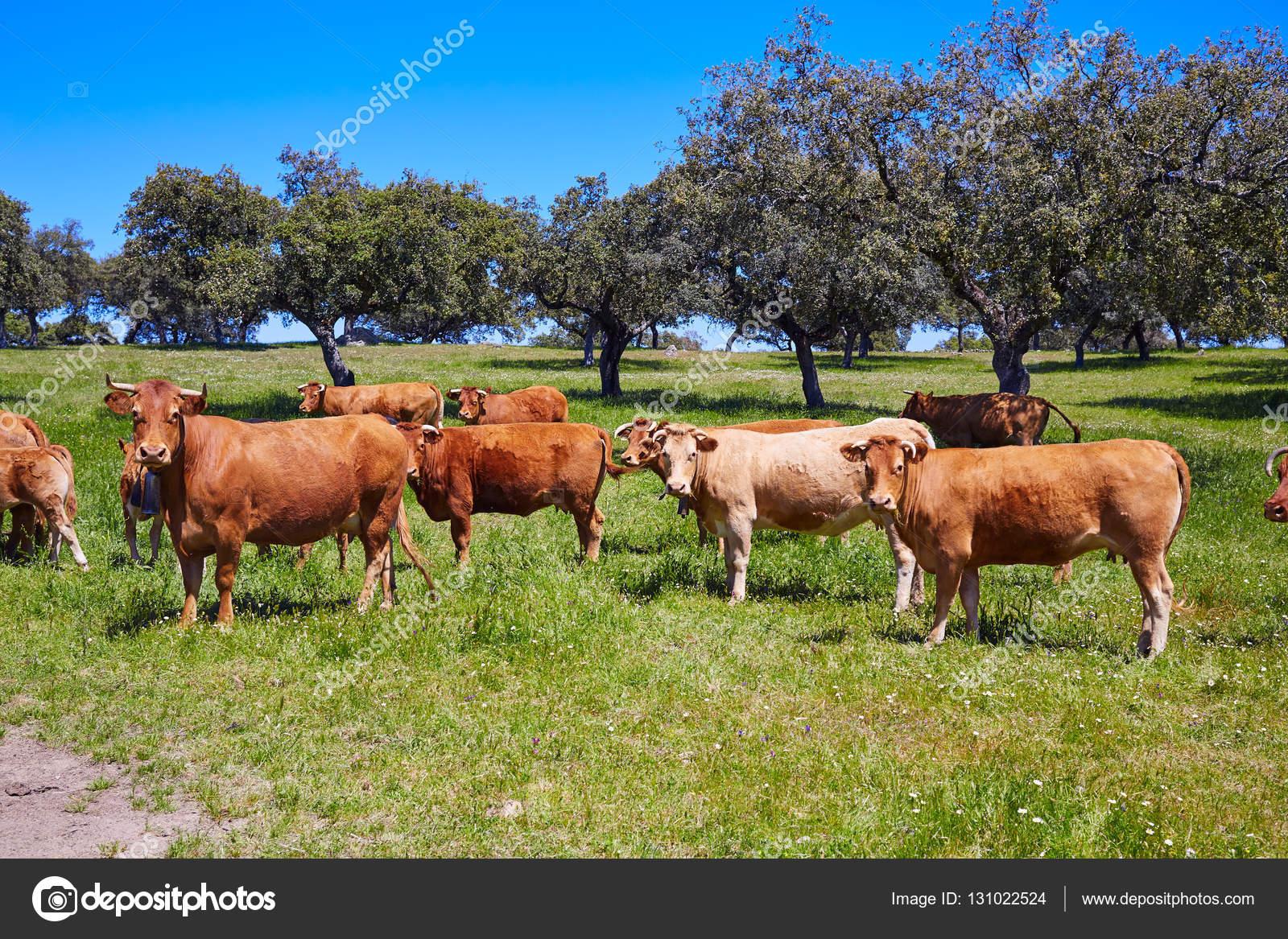Магазин в испании с коровой