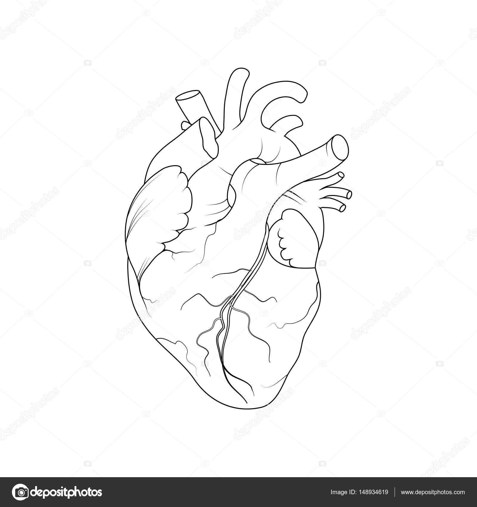 Corazon Humano Real Para Colorear Corazón Humano Anatómico