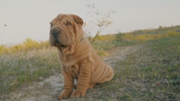 cane di razza Shar pei si siede — Video Stock © zokov #153983816