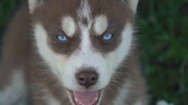 Porträt eines Hundes der Rasse Husky