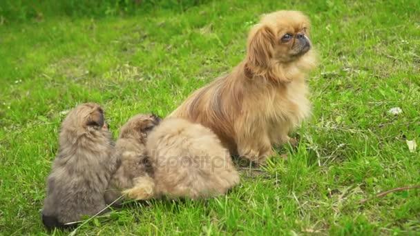 Pekingský palácový psík psů v přírodě
