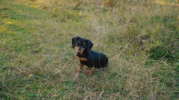 Dachshund breed dog outdoors