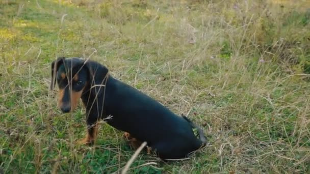 Dachshund breed dog outdoors
