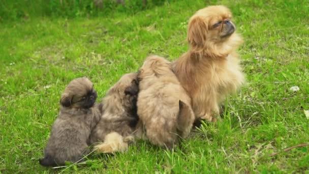 Pekingese dogs in nature