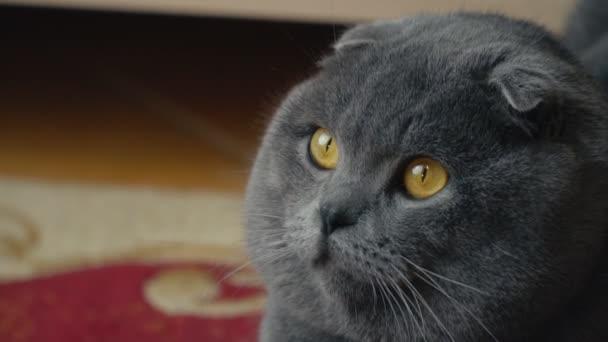cat lop-eared Briton