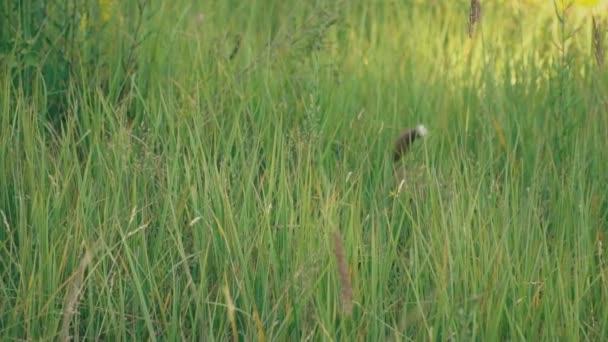 Ein Welpe der husky Wanderungen auf die Natur