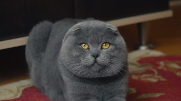 Rövíd szörű brit macska