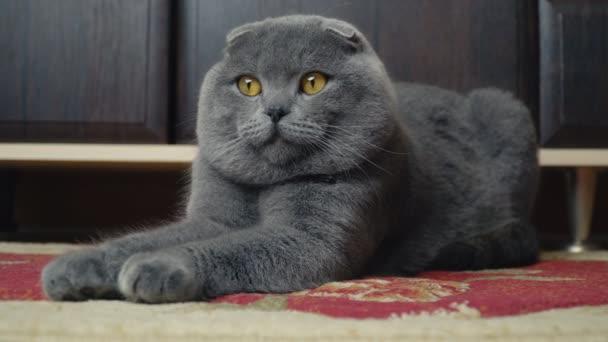 Katze-Schlappohr-Brite