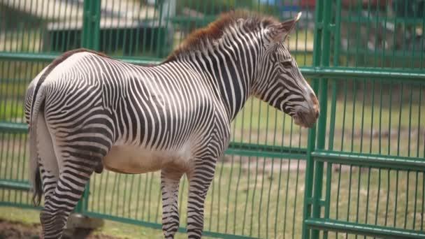 Zebra kůň stojí ve voliéře