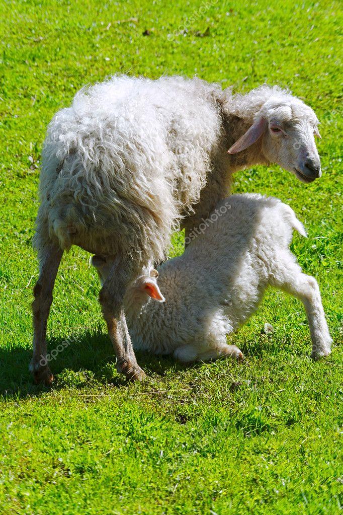 Felnőtt juh takarmányozása bárány — Stock Fotó © SergeyTimofeev ... bc0b6d056d