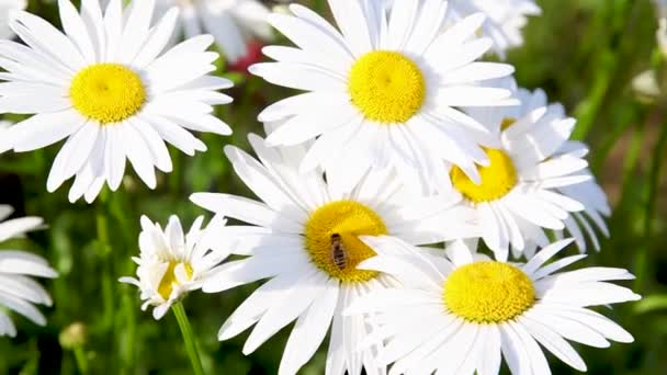 Bee On The Daisy Flower, A Bee Collects Nectar In The Daisy Flowers