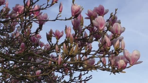 Jaro. První magnólie na stromech.