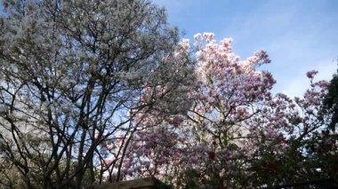 Magnolia a strom s bílými květy
