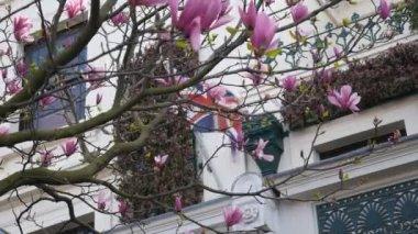 Jaro. Kvetoucí magnólie a vlajka Británie