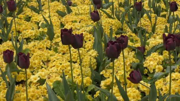 Jaro. Černá pupeny mezi žlutými květy