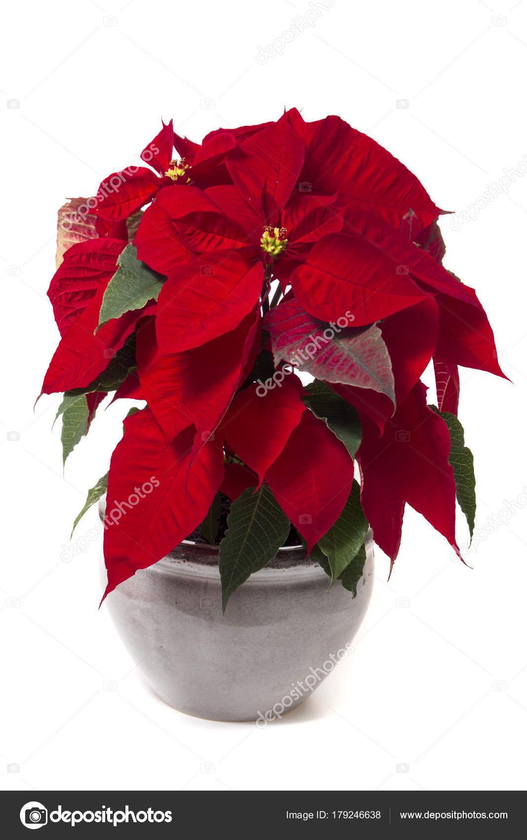 Stella Di Natale Bianca.Fiore Bella Stella Di Natale Euphorbia Pulcherrima Foto Stock