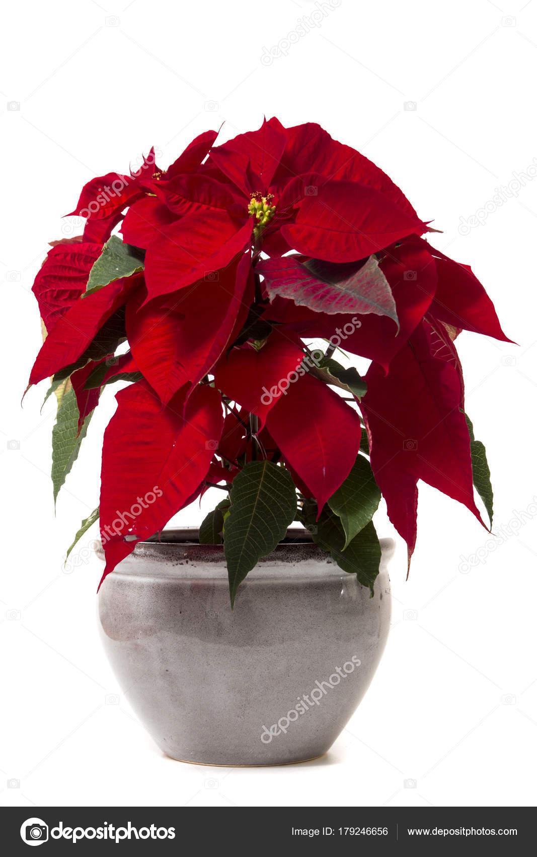 Stella Di Natale Fiore.Fiore Bella Stella Di Natale Euphorbia Pulcherrima Foto